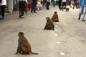 Now eco task force to gun for monkeys in Himachal