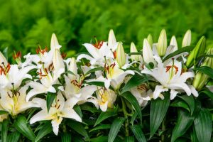 Sparkle up your house with fresh Easter lilies