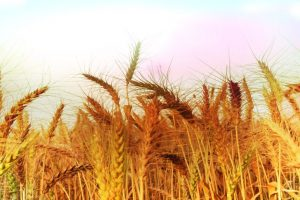 Sangrur leads in wheat procurement in Punjab