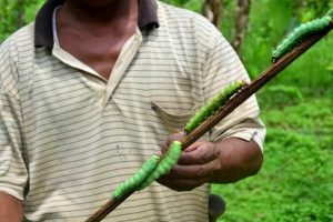 Genomic boost to protect Assam's muga silkworm