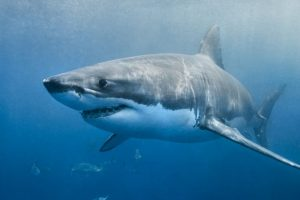 Australia mulls shark cull after new attack