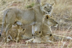 Tooth decay made Tsavo lions switch to 'soft' human meat