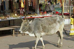 Delhi man held for attacking men transporting buffaloes