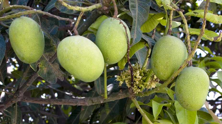Less mango export likely this year from UP' - The Statesman