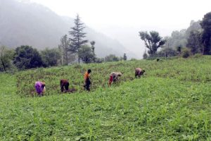 Himachal local 'mandis' on the anvil for organic products