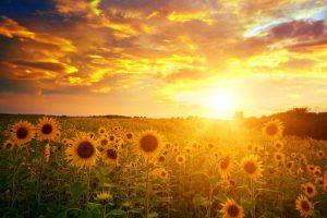Liver carcinogen traced to sunflower seeds