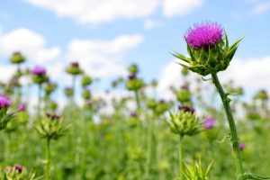 Take care of your liver: Go thistle and chicory