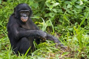 Bonobos more closely related to humans than chimps: Study