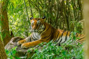 Tiger images thrill surveyors