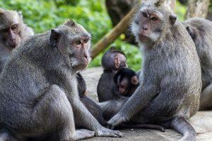Social ties boost life expectancy in monkeys