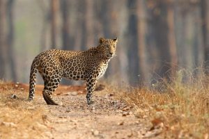 Leopard mauls woman to death in HP