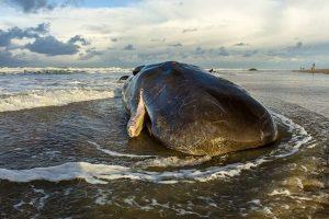 World's rarest marine mammal may go extinct in a year