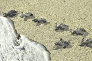 Eating soft shelled turtles may spread cholera