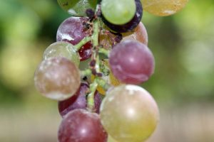Grape seed extract may help prevent tooth decay
