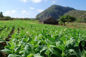 Farmers seek rollback of 5 pc GST on raw tobacco