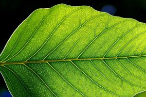 Photosynthesis may help treat heart disease