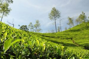 India's tea exports may go up, prices to improve: ICRA