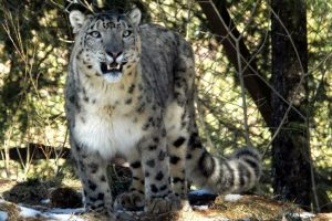 Radio collar project for snow leopards hits roadblock