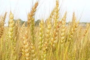 Haryana asks companies for field survey on crop insurance
