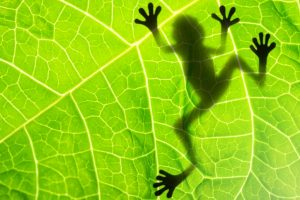 Extinction event that wiped out dinosaurs helped frogs evolve