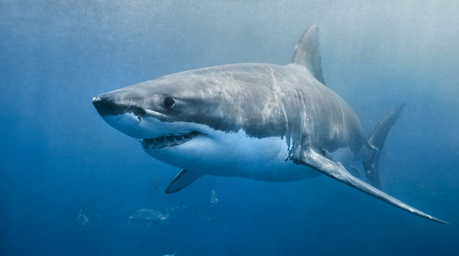 sharks attack, sharks attack Australia, recent shark attacks