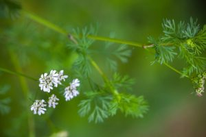Coriander, the healing herb