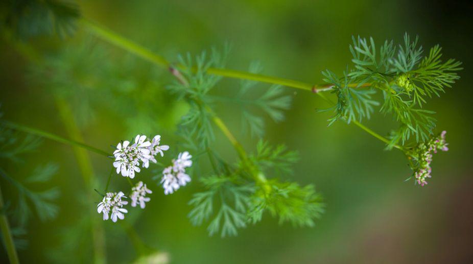 Coriander, the healing herb