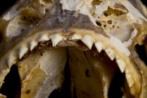 Prehistoric shark remains found near Peru lake