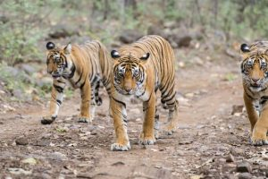 Gujarat to conduct census to ascertain presence of tigers