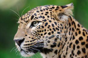 Leopard strays in residential area in Kishtwar, captured