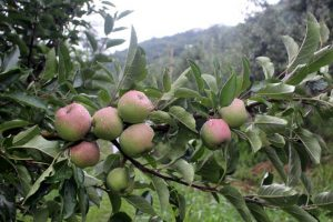 Apples turn sour for growers in Himachal