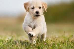 Scientists develop new therapeutic antibody for dog cancers