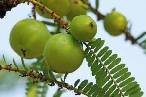 Amla, the ancient healing fruit
