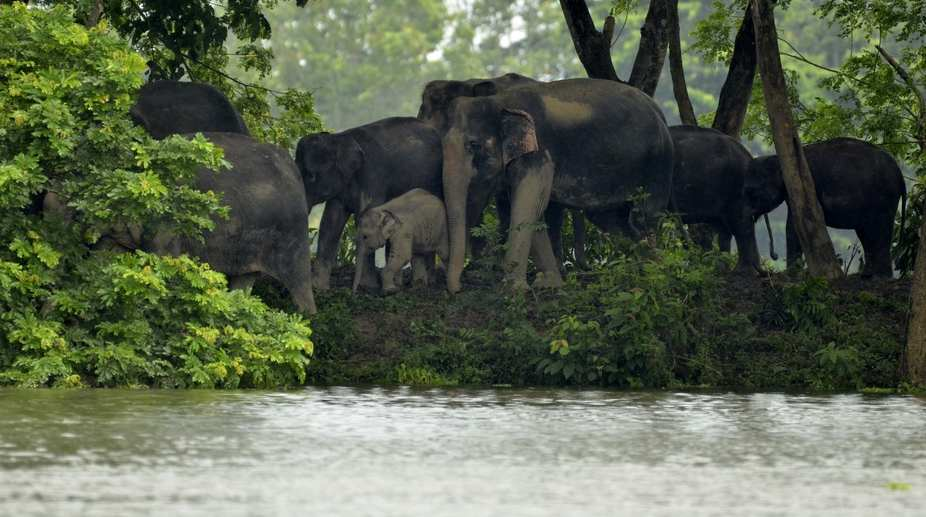 A herd of wild elephants move to higher lands from the flood hit areas of Assam's Kaziranga National Park (PHOTO: IANS)