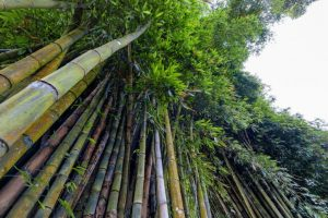 The giant bamboo