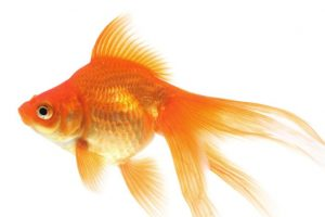Goldfish make alcohol to survive without oxygen