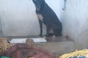 Dog walks out of toilet after sharing six hours with leopard!