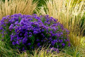 Purple Aster: Feel the power of love