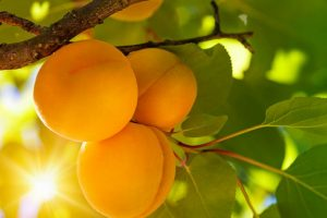 Keep the doctor away with an apricot a day