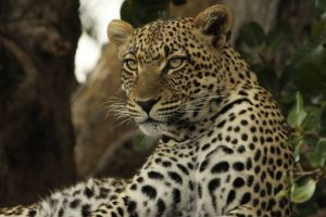 Leopards let loose in Goa zoo