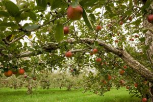 Apple farmers advised to start management of core rot disease