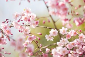 Cherry Blossom Festival in Shillong in November