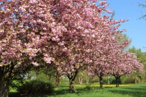 Cherry Blossom Festival set to paint Shillong pink