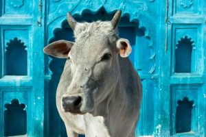 Click 'Selfie with a Cow' to save the bovine animal!