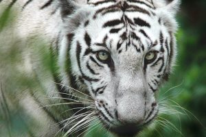 Two white tigers kill keeper in Bengaluru zoo