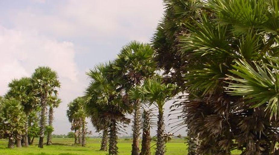 The home-grown palmyra