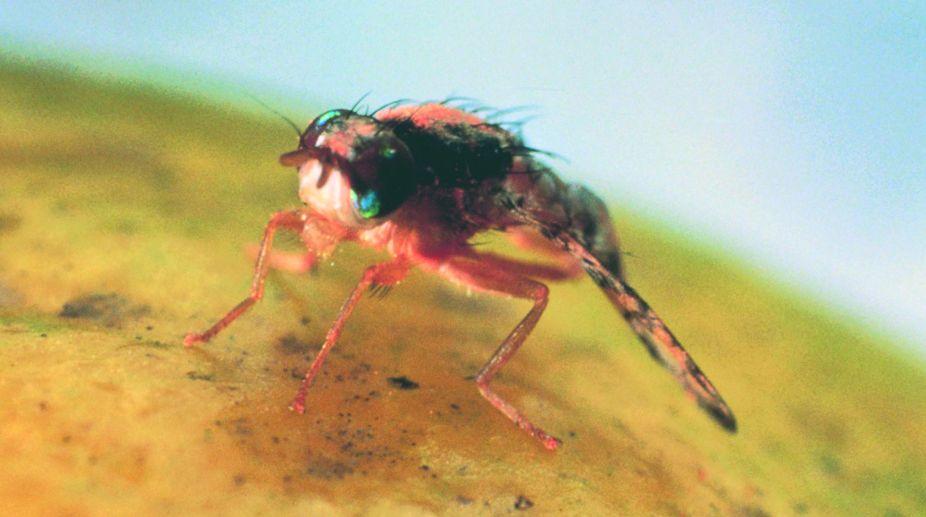 flies, Houseflies, Drain flies, Diptera, McAlister