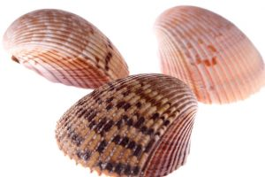 Ribbed mussels could help improve urban water quality