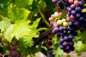 Humans began eating grapes 22,000 years ago?