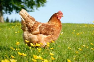 Pakistani boy arrested on charges of sexually assaulting hen